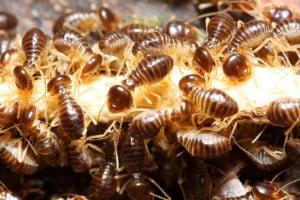 Termite Pest Control Frisco TX