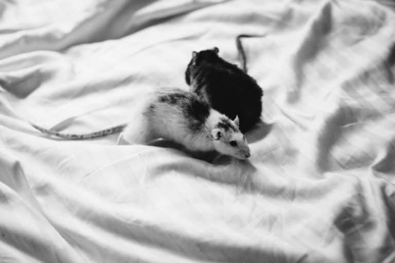 Two rats in bed sheets