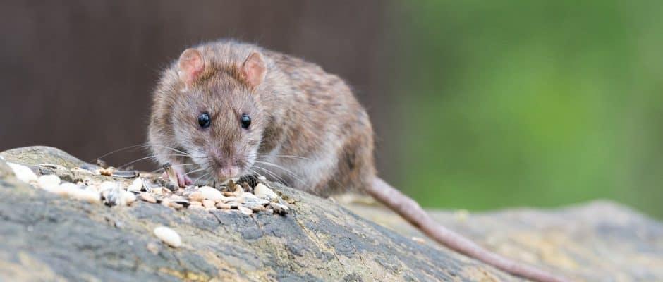 rat eating in top of wood
