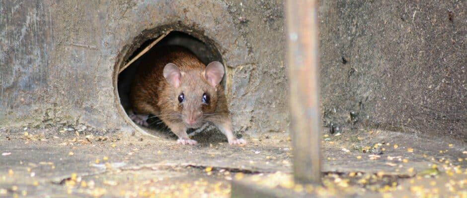mouse pest