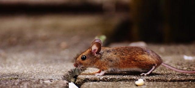 rats on ground walking